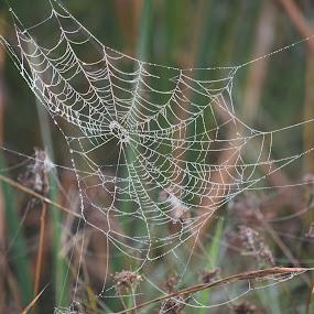 Webwork by Keith Heinly - Nature Up Close Webs ( fog, grass, wetland, florida, web )