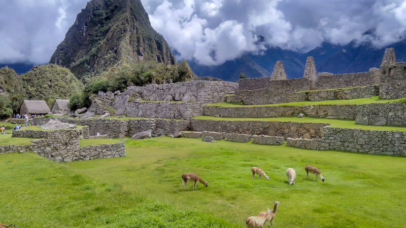 alpacas grazing on Machu Picchu the lost city of incas in cusco andes mountains peru south america