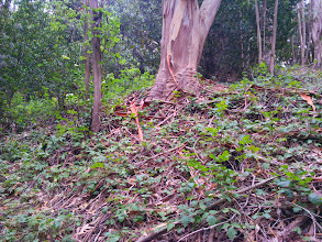Photo: This is the habitat provided for most invertebrates and amphibians by eucalypti. Bark and duff, intertwined with poison oak. Managing these unmanaged groves would require removal of 5 tons per acre, per year, of the the little habitat provided by these trees.