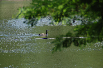 Photo: Day 68 ... a goose going for his swim in Saddle Brook Park