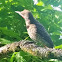 Red-shafted Flicker(male)