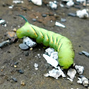 Laurel Sphinx Moth caterpillar