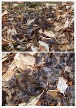 Photo: 撮影者:古山隆 クイナ(羽根) タイトル:クイナ(羽根) 観察年月日:2014/02/02 羽数:1羽 場所:多摩川(滝山下)右岸 区分:行動 メッシュ:拝島6E コメント:川沿いの林内の踏み跡にクイナの羽根(風切羽、肩羽、腹部の羽毛等)が散乱していた。たぶんオオタカによる食痕と思われる。