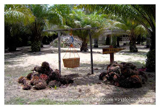 Photo: Ezile bay : oil palm planation les graines de palmier à huile