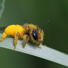 Apeluche by Stefano De Maio Fotografia - Animals Insects & Spiders ( macro, life, nature, bee, insect, italy,  )