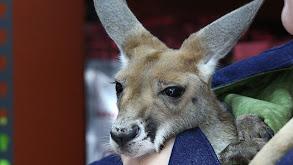 Baby Kangaroo Alert! thumbnail