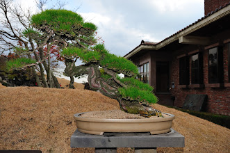 Photo: See the metal wires?  I suppose each bonsai is shaped with time and patience.