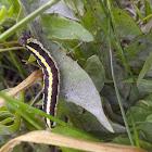 Капюшонница чертополоховая (Cucullia lucifuga) |