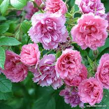 Photo: Historische Rose Pink Grootendorst, Züchter: Grootendorst 1923