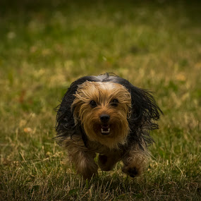 Ruby by Rogerio Teixeira - Animals - Dogs Running (  )