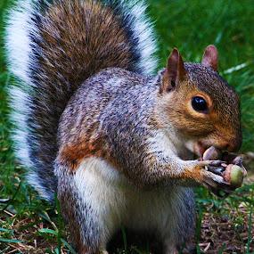 Squirrel by Gina Gomez - Animals Other Mammals ( park, nuts, mammal, squirrel, animal, small animal )