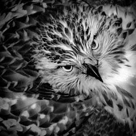 Red tailed hawk in B&W by Michael Haagen - Animals Birds ( b&w, red tailed hawk, portrait, hawk, eyes,  )