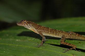 Photo: Norops polylepis 1, Esquinas Rainforest (8:42/-83:12), 23-05-2006, Author: Erwin Holzer, det. Gerardo Chaves