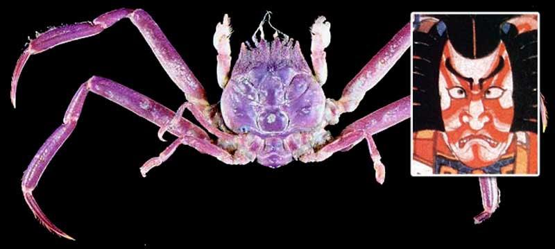 Caranguejo Heike, um exemplo da evolução das espécies