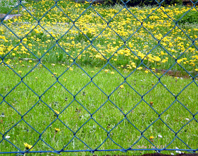 Photo: Dandelions are out and doing great ...............  seen through the fence to the neighbors garden ;-)   #dandelionpoker by +Dru Stefan Stone #yisforyellow +YisforYellow