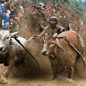 Pacu Jawi (cow races) by Teddy Winanda - Sports & Fitness Rodeo/Bull Riding ( west sumatera tourism, minangkabau tourism, indonesia tourism, cow races, pacu jawi )
