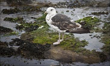 Photo: Bird N°38 Great Black Backed Gull ... .. ... .. ... ... .. Latin: Larus marinus