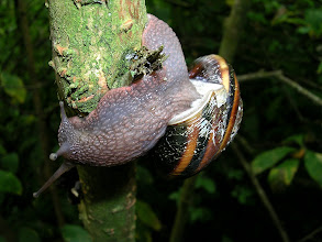Photo: Pacific Sideband snails have a colourful striped shell and are usually seen on the bushes along the trails.