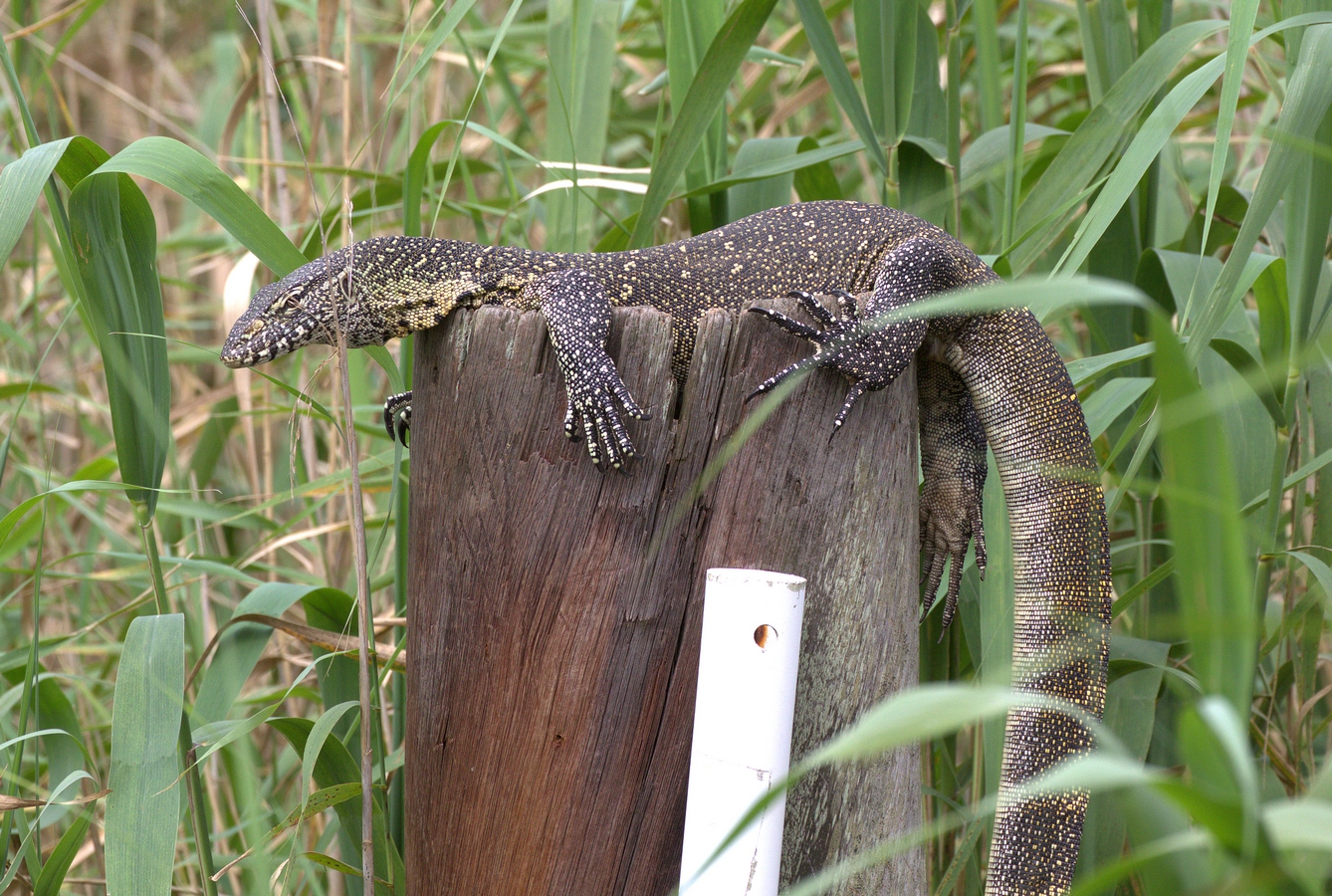 water monitor (Copy).jpg
