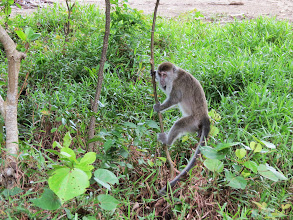 Photo: Long tailed macaque