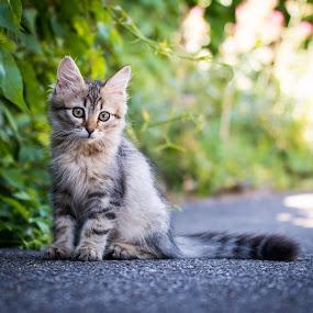 Tom by Crazy  Photos - Animals - Cats Kittens ( cat, kitten, pet, sibirian cat, baby, loved )