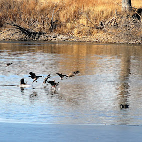 cleared for landing by Chris Clay - Animals Birds ( migration, water fowl, de soto, canadian geese )