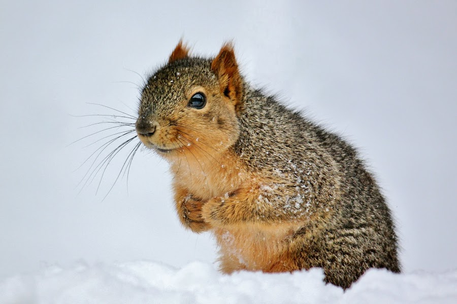 In the Snow by Nancy Daugherty - Animals Other Mammals