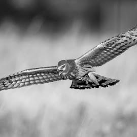 Northern Harrier by Debbie Quick - Black & White Animals ( raptor, debbie quick, nature, shawangunk grasslands, debs creative images, new york, walkill, birds of prey, outdoors, harrier, bird, animal, hawk, northern harrier, wild, hudson valley, wildlife )