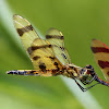 Halloween Pennant Dragonfly (Mating)