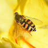 Vagrant Hoverfly