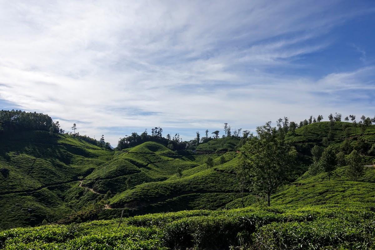 India. Kerala Motorbike Road Trip. Munnar Tea Gardens
