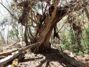 巨木の枯れ木