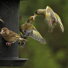 Birdkiss... by Roger Gulle Gullesen - Animals Birds