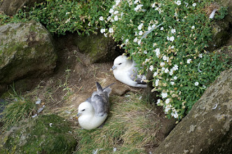 Photo: Fulmar (Fulmarus)