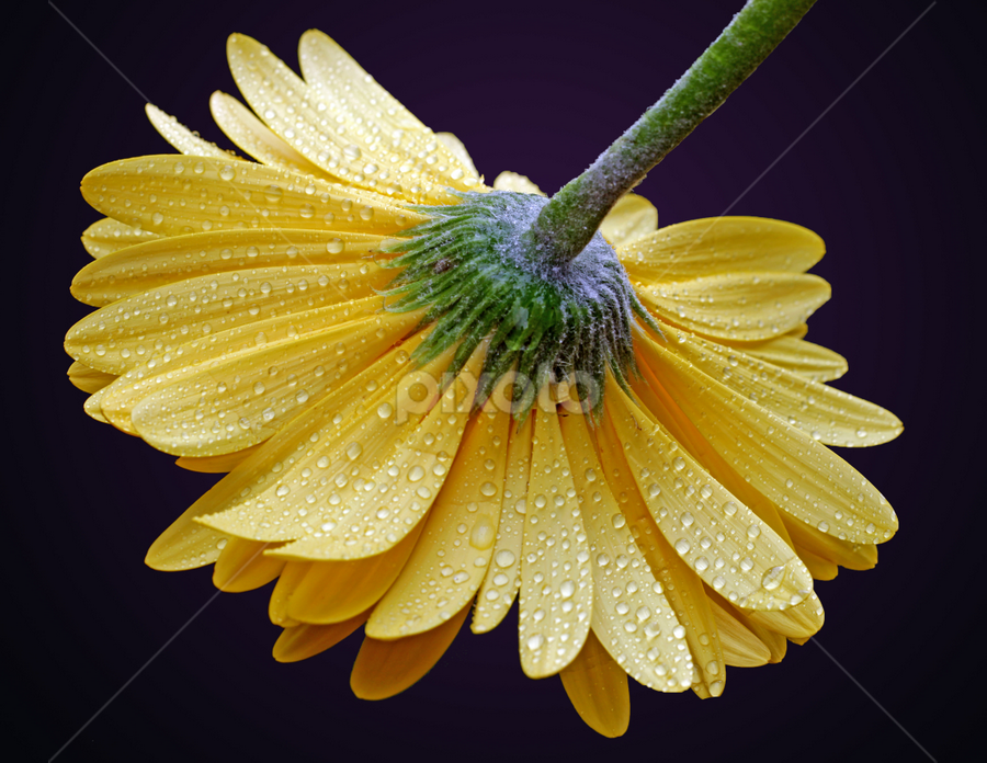 Yellow Gerber by Dipali S - Flowers Single Flower ( plant, detail, single, seasonal, botany, bright, colorful, daisy, beauty, botanical, pretty, spring, blossom, close, macro, nature, fresh, head, closeup, flower, blooming, decoration, flora, beautiful, bloom, season, color, summer, freshness, natural, garden, gerber, floral, large, growth )