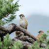 Passer montanus 樹麻雀