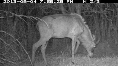 Photo: The young roan male shows a clearly scarred front leg O jovem macho de PV mostra uma pata dianteira ferida