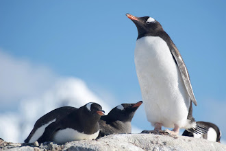 """Photo: The """"protector"""" pinguin"""