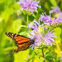 Monarch butterfly (feeding on Wild Bergamot)