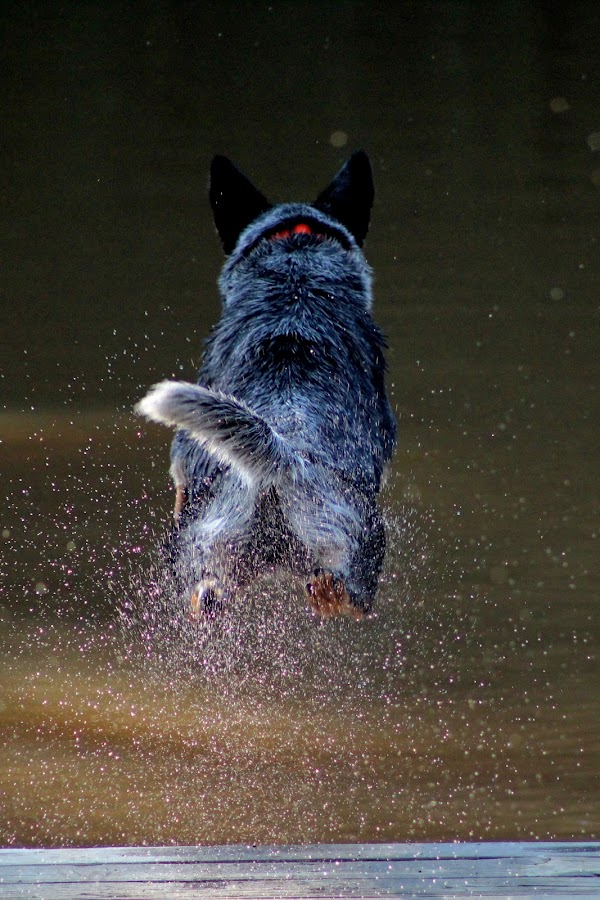 Jump! by Stacey Fields - Animals - Dogs Playing ( dog, diving, hazin, river, jump,  )