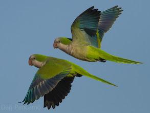 Photo: El Franco Lee Park - Monk Parakeet