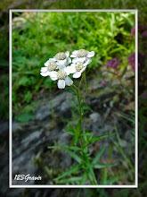 Photo: Achillée ptarmique, Achillea ptarmica