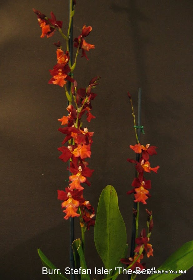 Burr Living fire /'Glowing Ember/' orchid plant