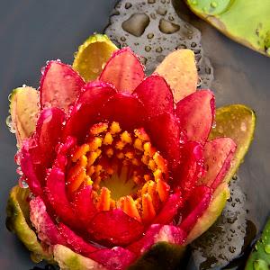 C:\Documents and Settings\Rod Schrader\Desktop\Pixoto\Rose Water Lily vert.jpg
