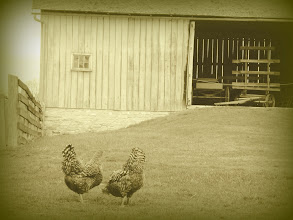 Photo: Sepia photo of two hens eating in front of a barn at Carriage Hill Metropark in Dayton, Ohio.