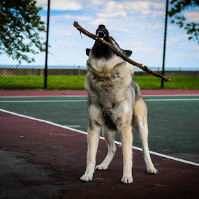 King of the playground by Maria Sicilian - Animals - Dogs Playing ( playground, elkhound, stick, playgroundtennis court, green, play, nipoing, king, teeth, norwegian elkhound, canine, playing, biting, norwegian, dog, outside )