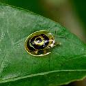 Target Tortoise Beetle