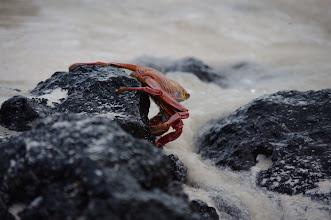 Photo: Sally Lightfoot Crab
