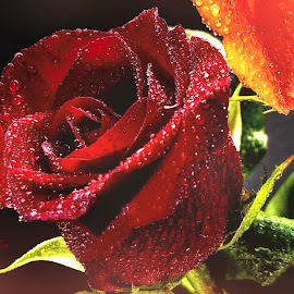 Roses Are Red by Dave Walters - Typography Quotes & Sentences ( macro, typography, nature, rose, lumix fz2500, colors, water drops )