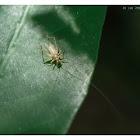 Trigonidiidae  蛉蟋